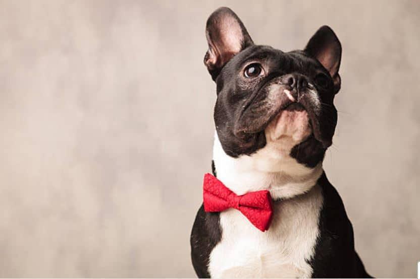 bouledogue chien classe chic