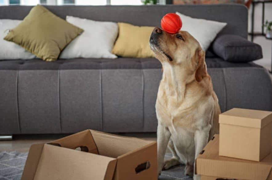 chien balle équilibre dressage