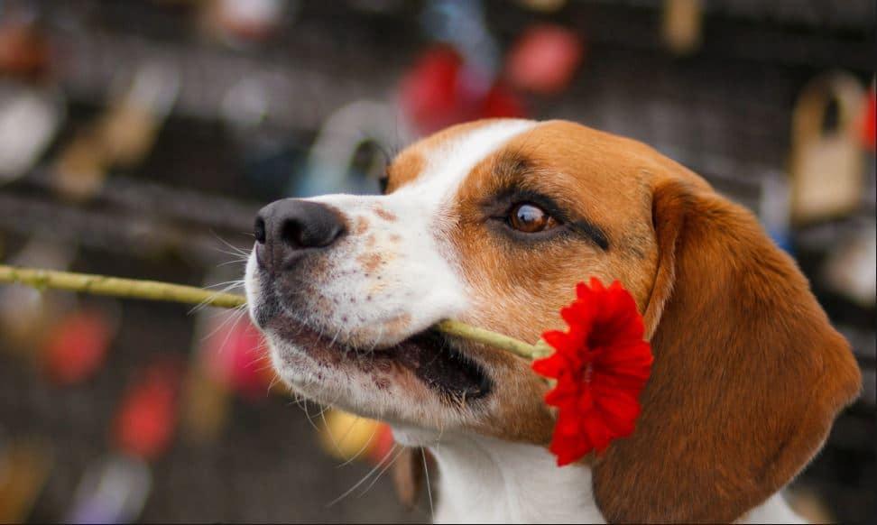 chien beagle fleur