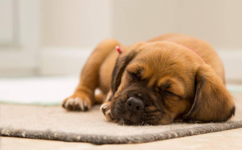 chien dormir calme intoxication agir