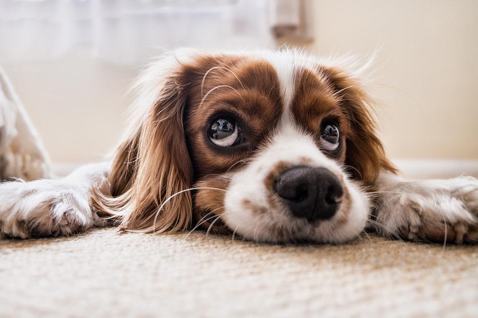 chien yeux triste choux