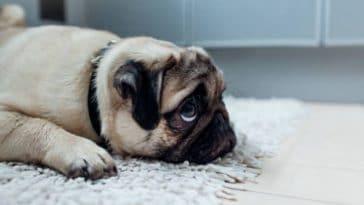 chien bouledogue triste seul maison