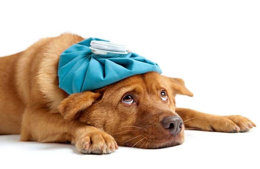 chien malade fièvre triste