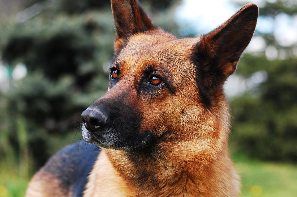 Berger allemand chien assistance