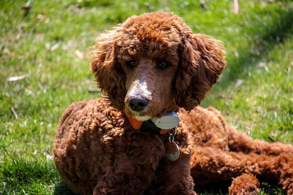 Caniche royal chien d'assistance