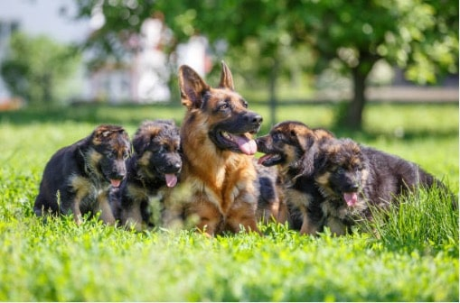 maman berger allemand chiots