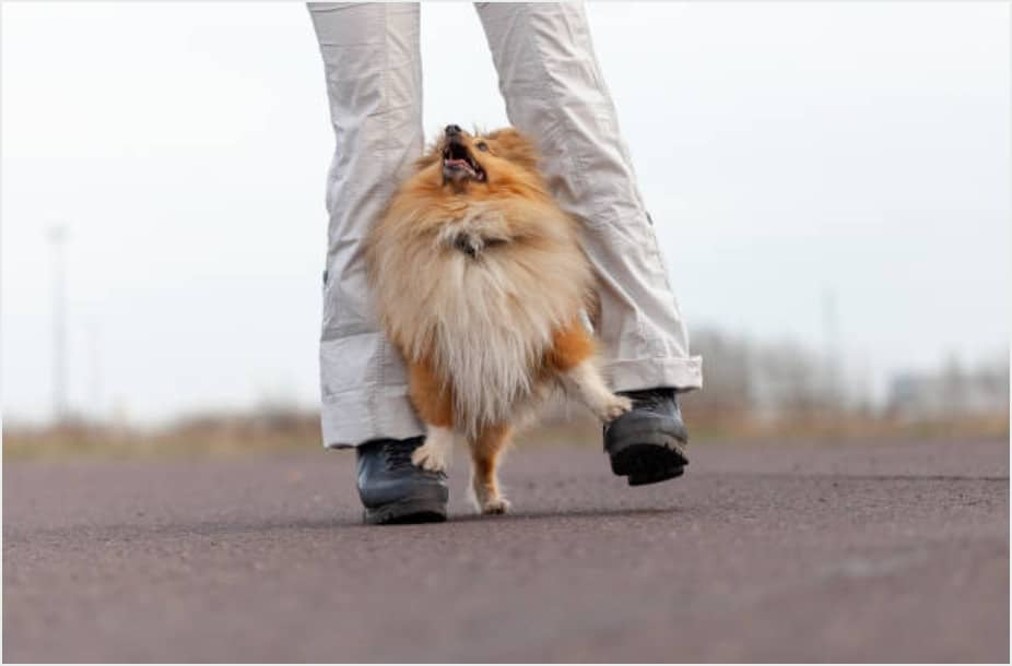 chien obé rythmée