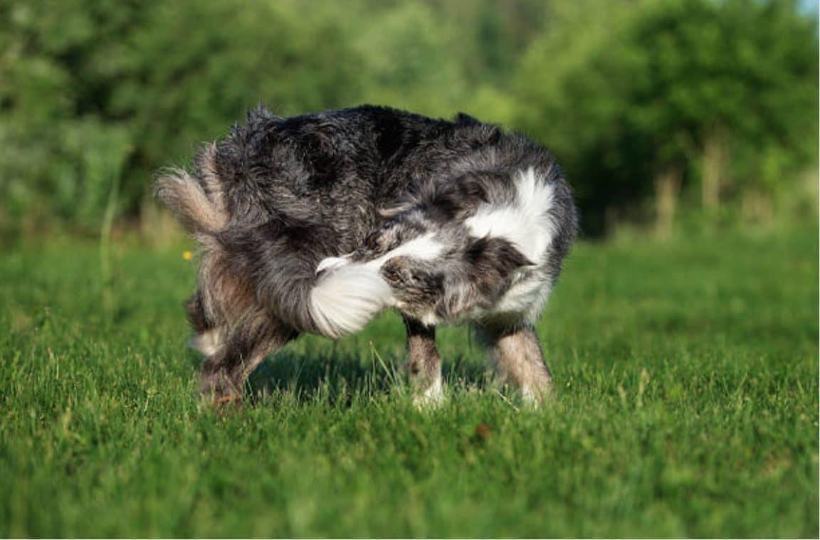 chien comportement souffre tourne en rond