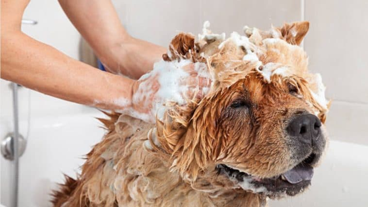 chien laver shampooing