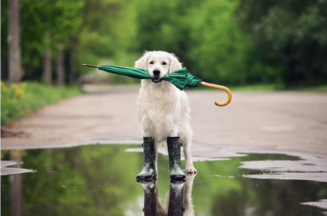 temps de chien parapluie flaque bottes