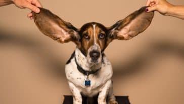chien sourd