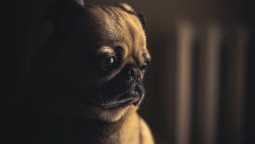 Jaloux triste carlin chien