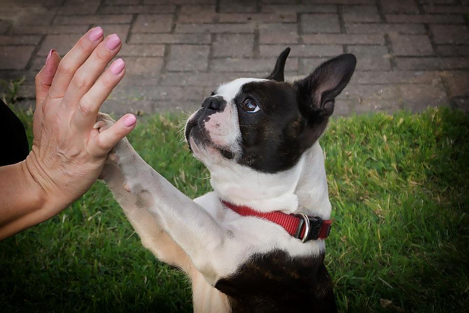 Patte chien main bouledogue