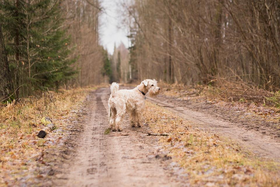 Perdu chemin chien