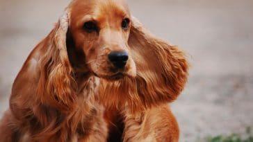 chien cocker beaux poils