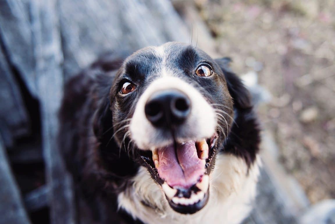 chien langue truffe
