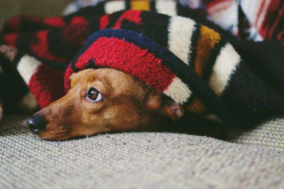 chien froid couverture