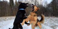 bagarre chiens