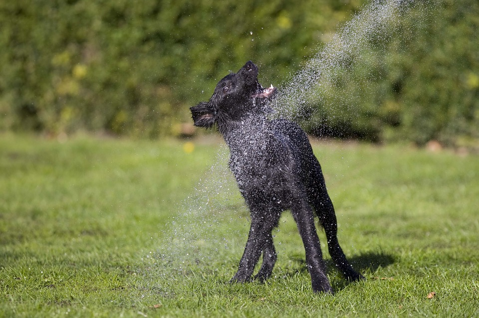 chien arrosé eau