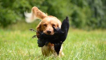 chien chasse prédateur