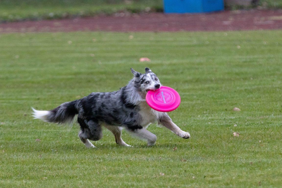 chien frisbee