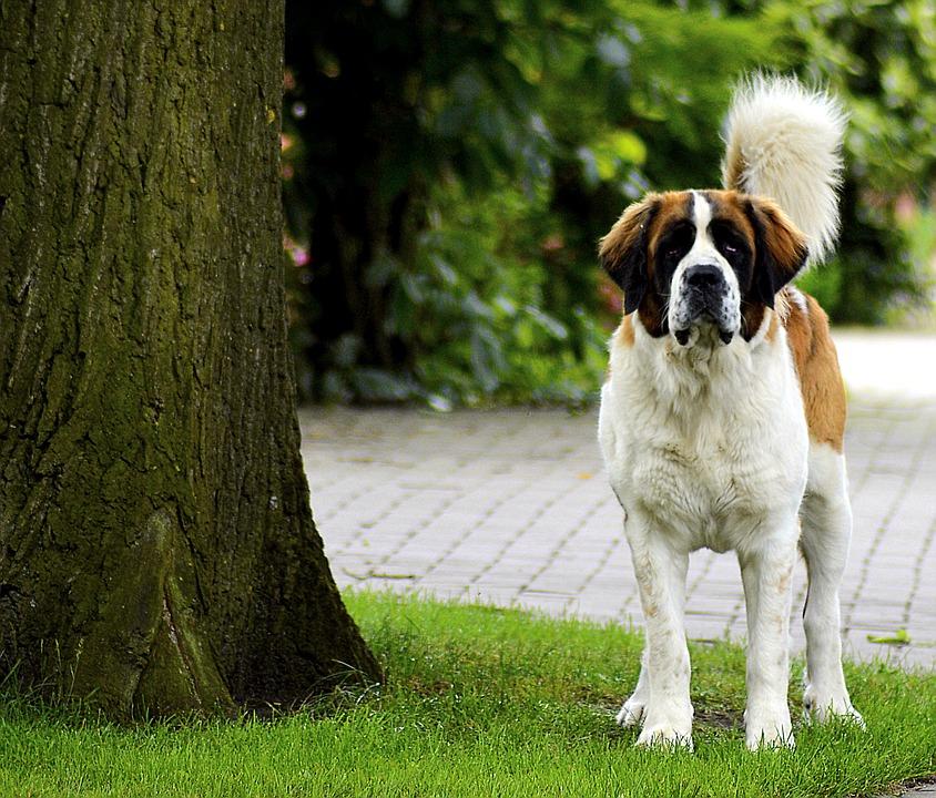 chien garde