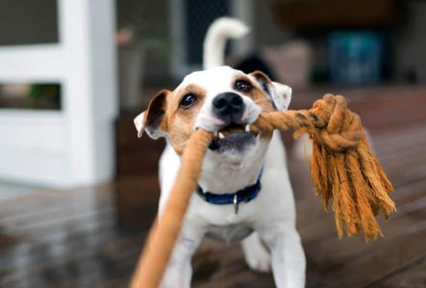 chien jouer corde