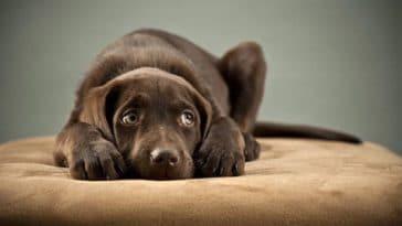 chien peur fatigué couché