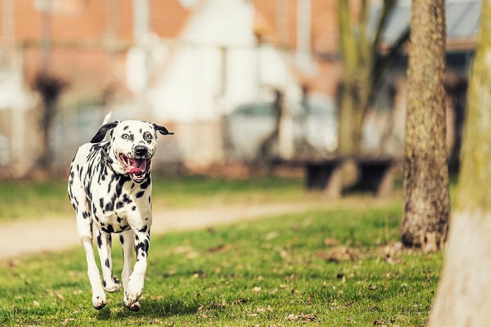 dalmatien chien