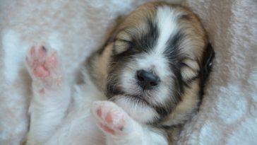 dort chien chiot