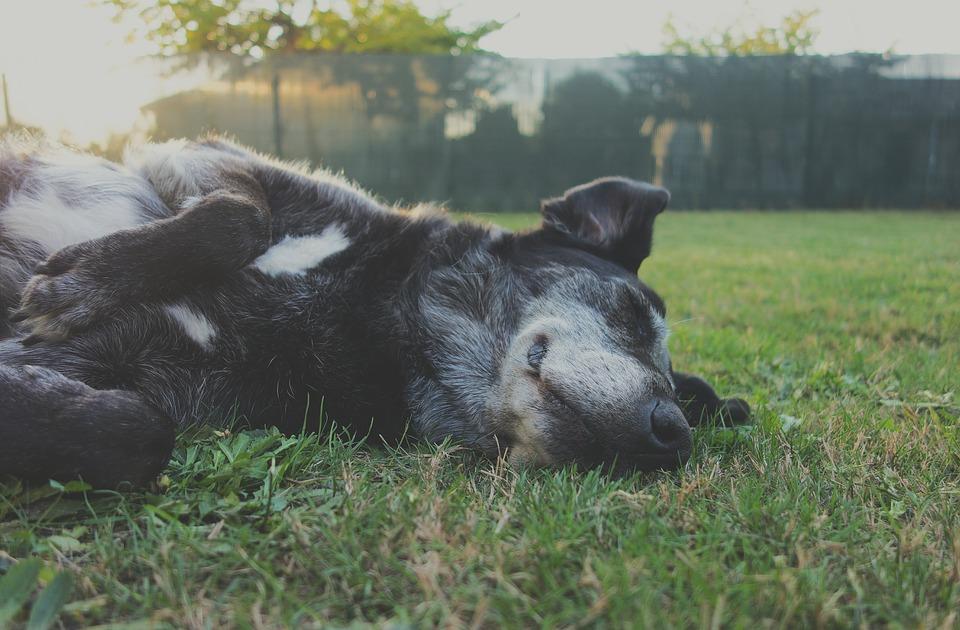 dort chien côté