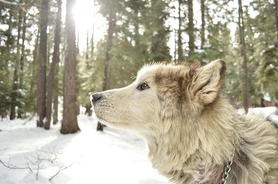hybride loup malamute alaska