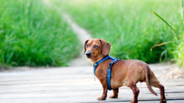 chien teckel harnais dehors