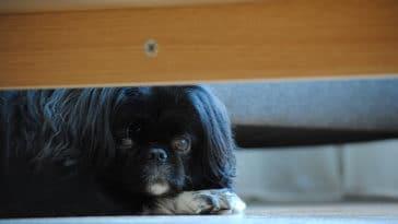 Chien cacher sous meuble