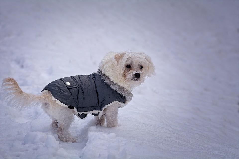 chien hiver manteau