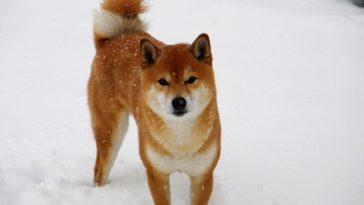 shiba inu chien
