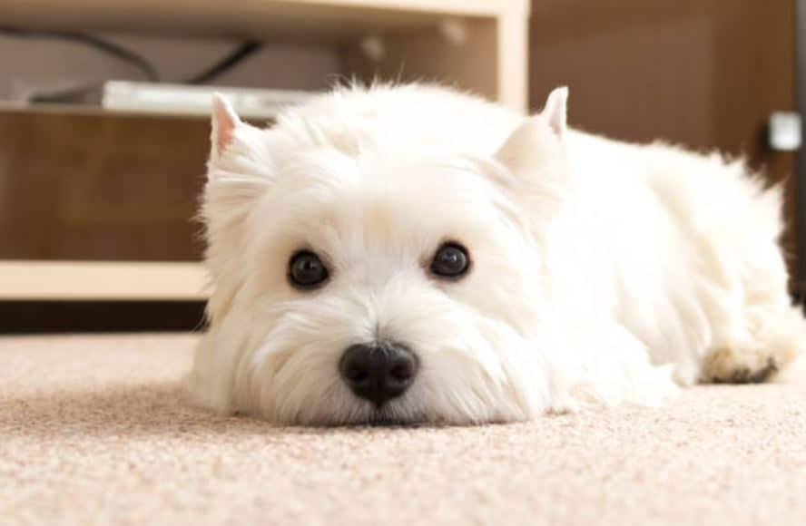white terrier fatigué soucieux