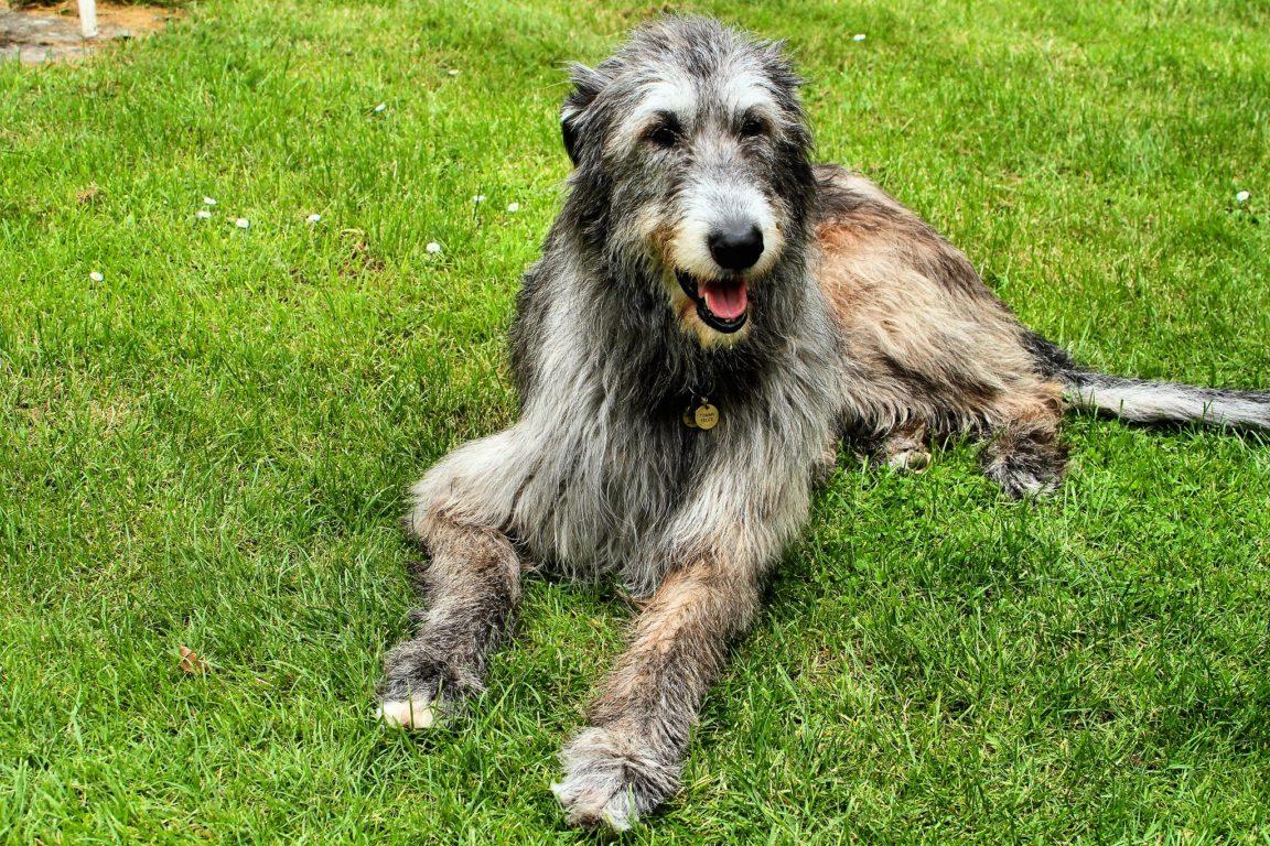 levrier irlandais plus grandes races de chiens du monde