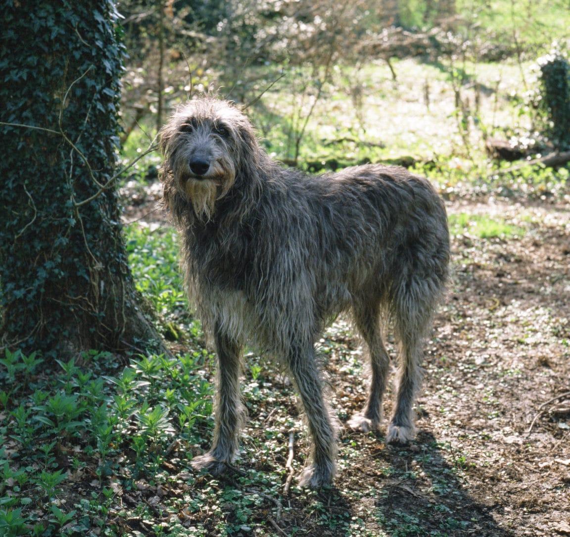 levrier ecossais plus grandes races de chiens du monde