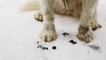 chien gratte le sol