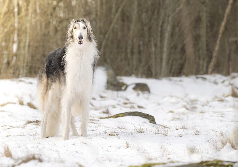 barzoi plus grandes races de chiens du monde