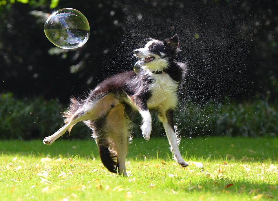 border collie bulle