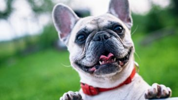 bouledogue souriant