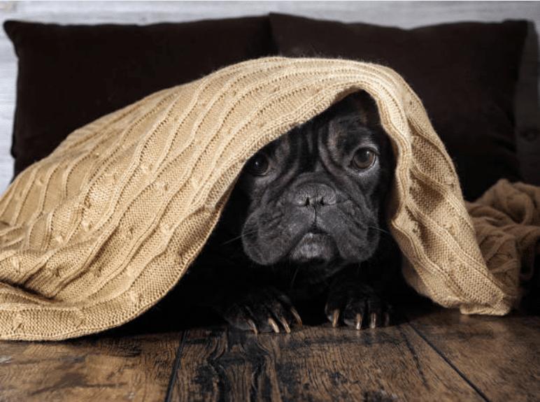 chien couverture peur demence