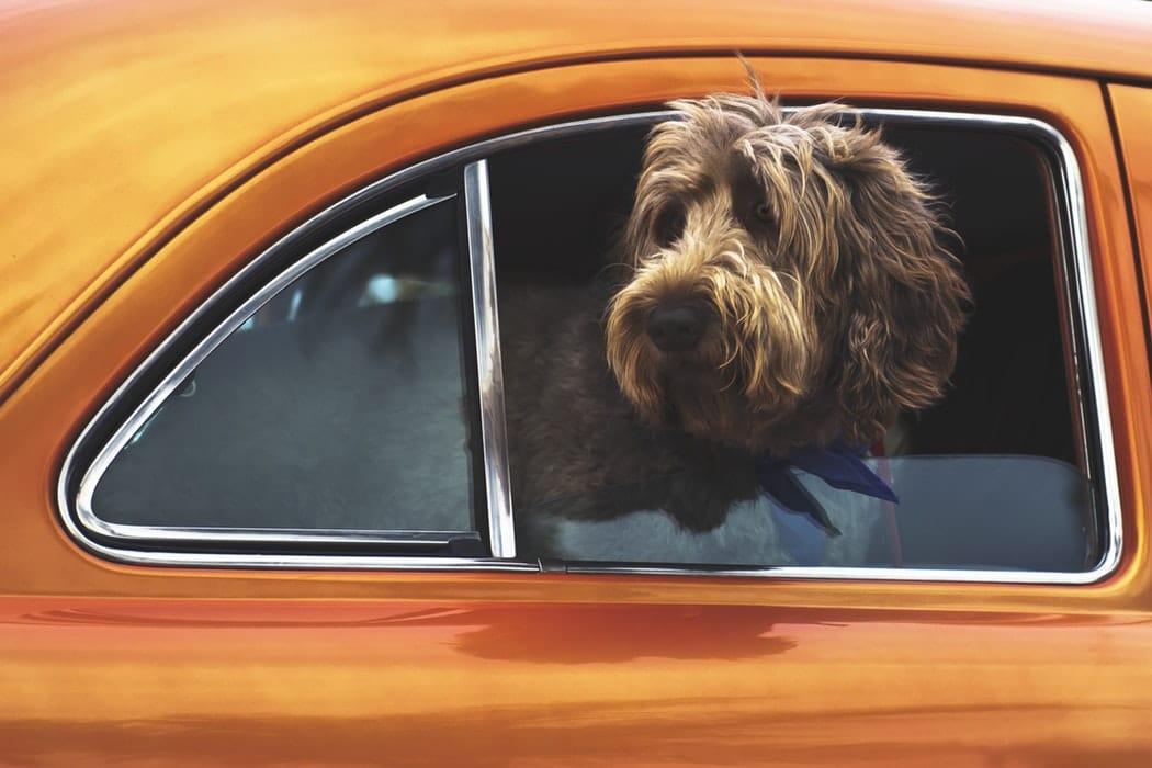 chien enferme voiture