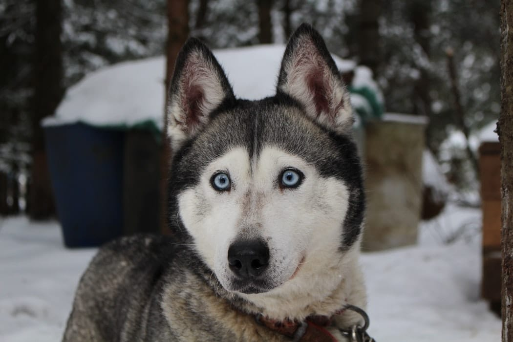 chien husky chien pellicules