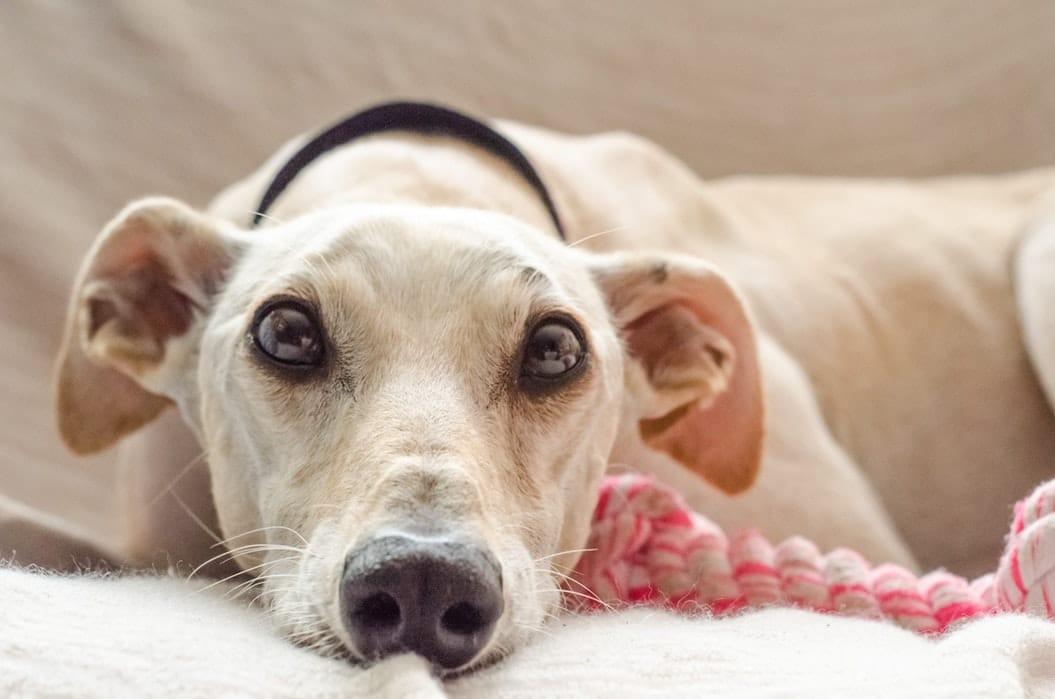 chien jouet apprendre chien a rester seul