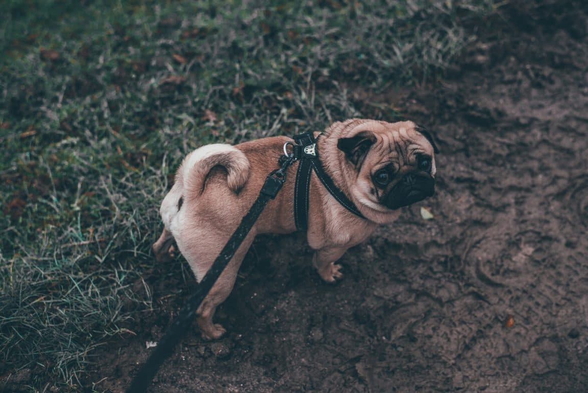 chien promenade chien refuse d avancer promenade