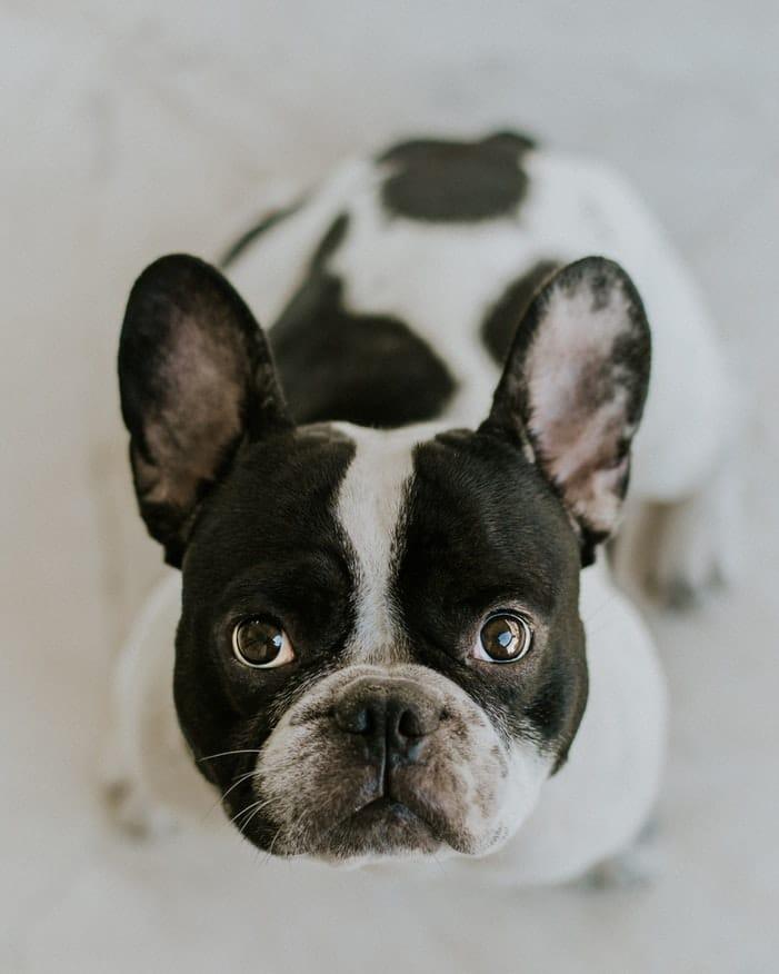 chien regarde dans les yeux signes amour chien