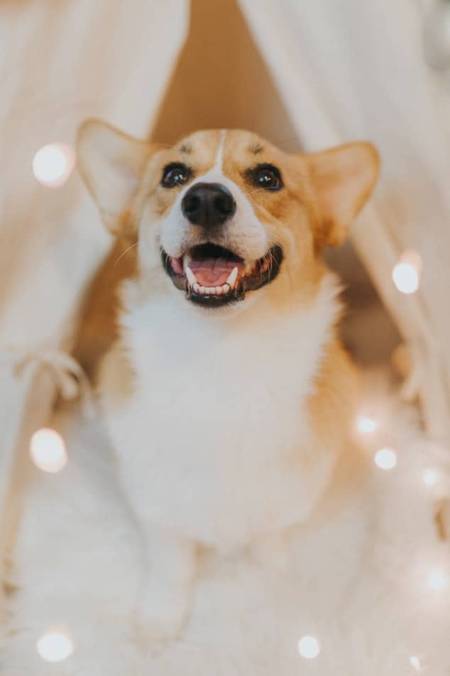 chien sourire signes amour chien